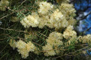 APII jpeg image of Melaleuca leiocarpa  © contact APII
