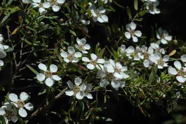 APII jpeg image of Leptospermum brevipes  © contact APII