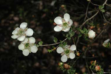APII jpeg image of Leptospermum rotundifolium 'Jervis Bay form'  © contact APII