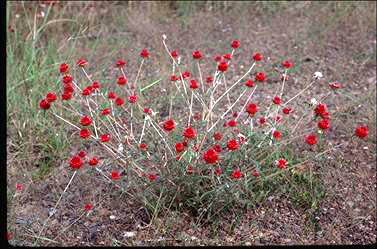 APII jpeg image of Gomphrena canescens subsp. erythrina  © contact APII