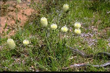 APII jpeg image of Ptilotus macrocephalus  © contact APII