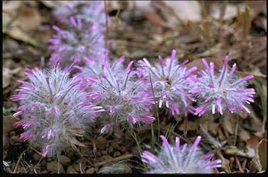 APII jpeg image of Ptilotus manglesii  © contact APII