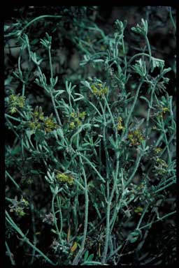 APII jpeg image of Xanthosia huegelii  © contact APII