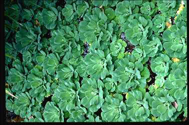 APII jpeg image of Pistia stratiotes  © contact APII