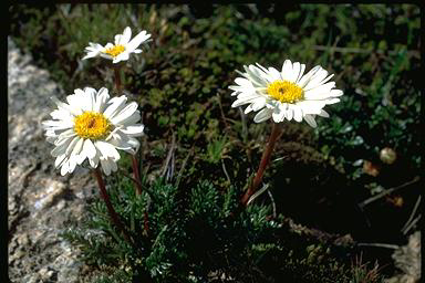APII jpeg image of Brachyscome nivalis var. alpina  © contact APII