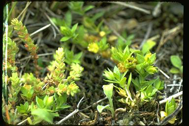 APII jpeg image of Crassula sieberiana  © contact APII