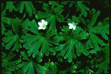 APII jpeg image of Geranium potentilloides  © contact APII