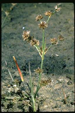 APII jpeg image of Juncus articulatus  © contact APII