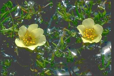 APII jpeg image of Ranunculus millanii  © contact APII