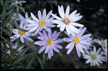 APII jpeg image of Olearia phlogopappa  © contact APII