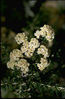 APII jpeg image of Ozothamnus secundiflorus  © contact APII