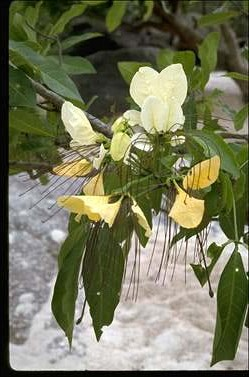 APII jpeg image of Crateva religiosa  © contact APII