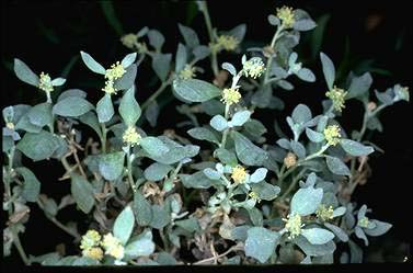 APII jpeg image of Atriplex angulata  © contact APII