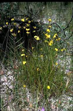 APII jpeg image of Xyris  © contact APII