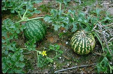 APII jpeg image of Citrullus lanatus  © contact APII