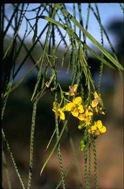 APII jpeg image of Parkinsonia aculeata  © contact APII