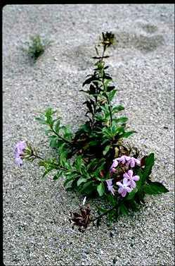 APII jpeg image of Saponaria officinalis  © contact APII