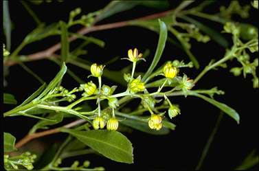 APII jpeg image of Dodonaea viscosa  © contact APII