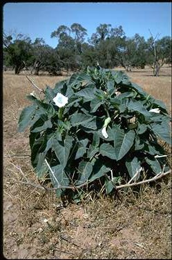 APII jpeg image of Datura inoxia  © contact APII