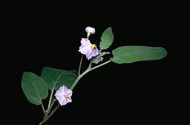 APII jpeg image of Solanum echinatum  © contact APII