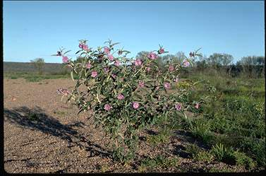 APII jpeg image of Solanum sturtianum  © contact APII