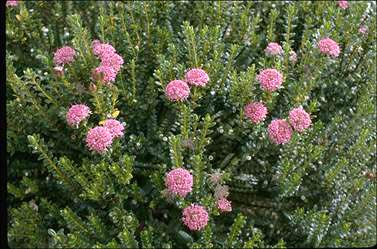 APII jpeg image of Pimelea ferruginea  © contact APII