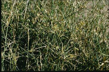 APII jpeg image of Zygochloa paradoxa  © contact APII