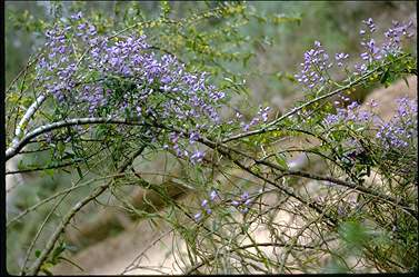APII jpeg image of Comesperma volubile  © contact APII