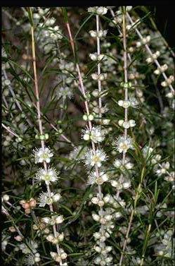 APII jpeg image of Hypocalymma angustifolium  © contact APII