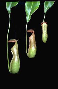 APII jpeg image of Nepenthes mirabilis  © contact APII
