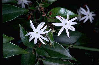 APII jpeg image of Jasminum volubile  © contact APII