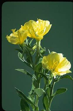 APII jpeg image of Oenothera drummondii  © contact APII