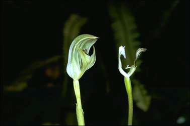 APII jpeg image of Pterostylis curta  © contact APII