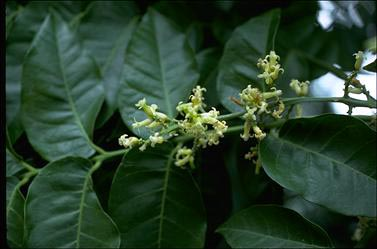 APII jpeg image of Dysoxylum muelleri  © contact APII