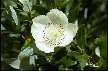 APII jpeg image of Eucryphia lucida  © contact APII