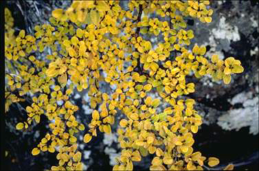 APII jpeg image of Nothofagus gunnii  © contact APII