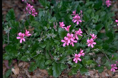 APII jpeg image of Pelargonium rodneyanum  © contact APII