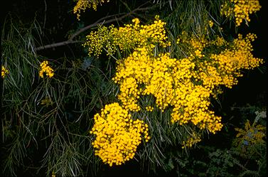 APII jpeg image of Acacia adunca  © contact APII