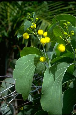 APII jpeg image of Acacia dunnii  © contact APII