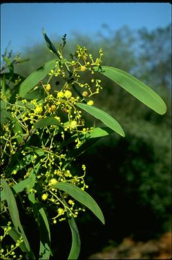 APII jpeg image of Acacia falciformis  © contact APII