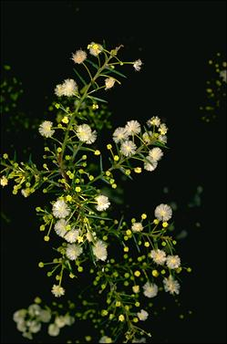APII jpeg image of Acacia genistifolia  © contact APII
