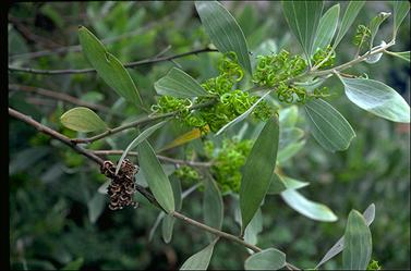 APII jpeg image of Acacia holosericea  © contact APII