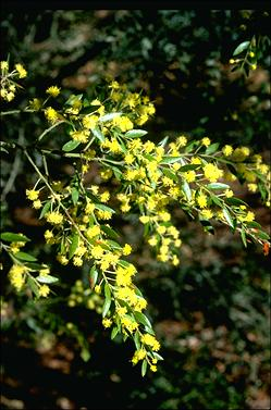 APII jpeg image of Acacia howittii  © contact APII