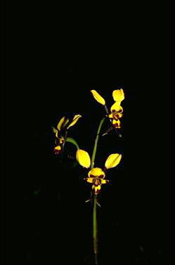 APII jpeg image of Diuris maculata  © contact APII