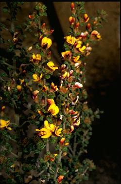APII jpeg image of Pultenaea scabra  © contact APII