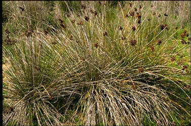 APII jpeg image of Isolepis nodosus  © contact APII