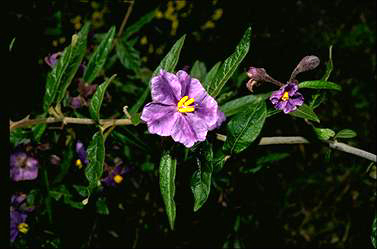 APII jpeg image of Solanum elegans  © contact APII