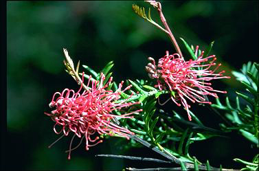 APII jpeg image of Grevillea 'Poorinda Enchantment'  © contact APII