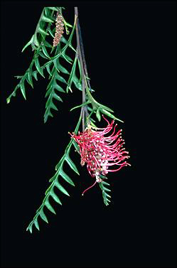 APII jpeg image of Grevillea 'Poorinda Peter'  © contact APII