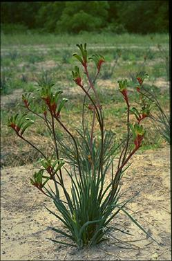 APII jpeg image of Anigozanthos 'Bush Emerald'  © contact APII